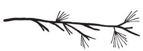 Pine Branch (1432g)