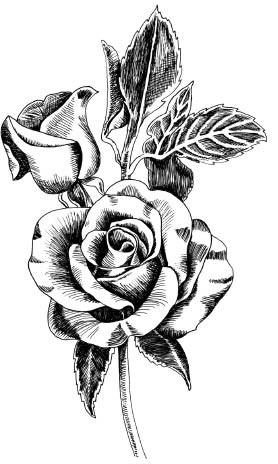 5555i - pen and ink rose
