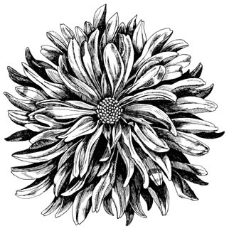 5508j- Pen and Ink Dahlia
