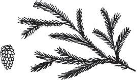 large pine branch (1510l)