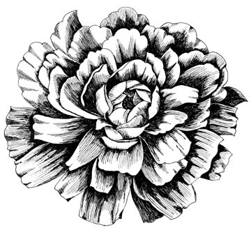 5510j - pen and ink peony