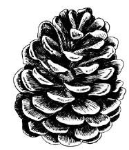 5532d - handrawn pinecone