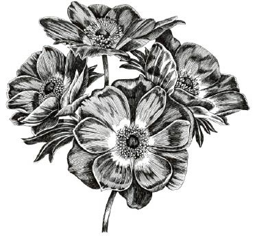 SALE _ 5580k - pen and ink poppies rubber stamp