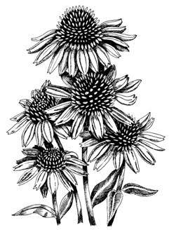 5509i - pen and ink daisies