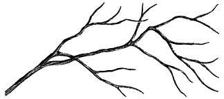 Bare Branch Lg. 122F