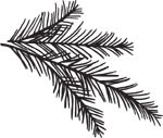 5419D - small pine branch